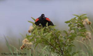 6798 Red-winged Blackbird (Agelaius phoeniceus), Hagerman NWR, Texas