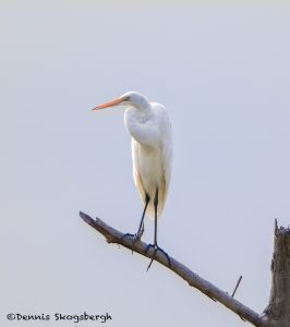 6801 Great Egret (Ardea alba), Hagerman NWR, Texas