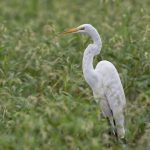 6802 Great Egret (Ardea alba), Hagerman NWR, Texas