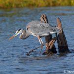 6809 Great Blue Heron (Ardea herodias), Hagerman NWR, Texas