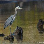 6810 Great Blue Heron (Ardea herodias), Hagerman NWR, Texas