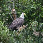 6817 Bald Eagle, Katmai National Park, Alaska