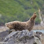 6818 Sea Lion, Katmai National Park, Alaska