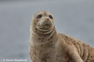 6819 Sea Lion, Katmai National Park, Alaska