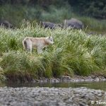 6821 Wolf, Katmai National Park, Alaska