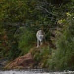6822 Wolf, Katmai National Park, Alaska