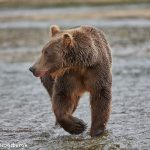 6823 Kodiak Bear, Katmai National Park, Alaska