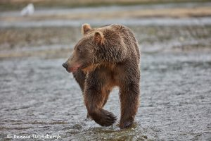 6823 Kodiak Bear, Katmai National Park, Alaska