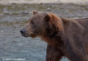 6824 Kodiak Bear, Katmai National Park, Alaska