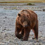 6825 Kodiak Bear, Katmai National Park, Alaska