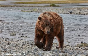 6825 Kodiak Bear, Katmai National Park, Alaska