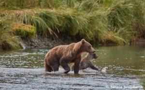 6826 Kodiak Bears, Katmai National Park, Alaska