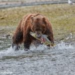 6827 Kodiak Bear, Katmai National Park, Alaska