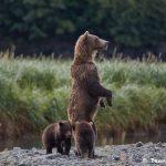 6827 Kodiak Bears, Katmai National Park, Alaska