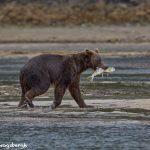 6829 Kodiak Bear, Katmai National Park, Alaska