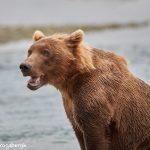 6830 Kodiak Bear, Katmai National Park, Alaska