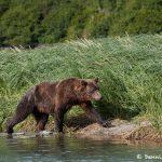 6831 Kodiak Bear, Katmai National Park, Alaska