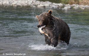 6832 Kodiak Bear, Katmai National Park, Alaska