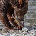 6833 Kodiak Bear, Katmai National Park, Alaska