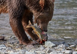 6833 Kodiak Bear, Katmai National Park, Alaska