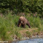 6835 Kodiak Bear, Katmai National Park, Alaska