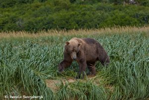 6836 Kodiak Bear, Katmai National Park, Alaska