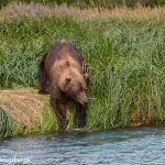 6837 Kodiak Bear, Katmai National Park, Alaska