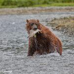 6838 Kodiak Bear, Katmai National Park, Alaska