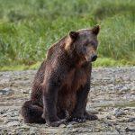 6839 Kodiak Bear, Katmai National Park, Alaska