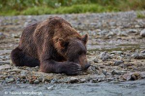 6840 Kodiak Bear, Katmai National Park, Alaska
