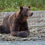 6842 Kodiak Bear, Katmai National Park, Alaska
