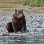 6843 Kodiak Bear, Katmai National Park, Alaska
