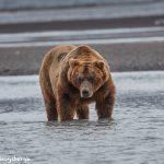 6848 Kodiak Bear, Katmai National Park, Alaska