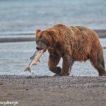 6849 Kodiak Bear, Katmai National Park, Alaska