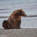 6851 Kodiak Bear, Katmai National Park, Alaska