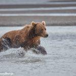 6853 Kodiak Bear, Katmai National Park, Alaska