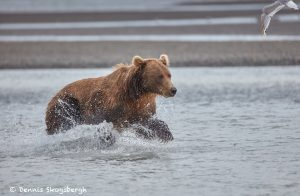 6853 Kodiak Bear, Katmai National Park, Alaska