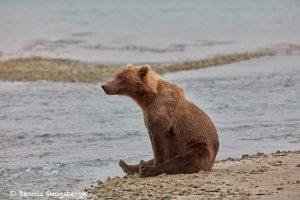 6854 Kodiak Bear, Katmai National Park, Alaska