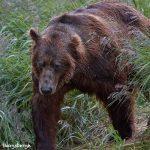6856 Kodiak Bear, Katmai National Park, Alaska