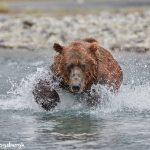 6857 Kodiak Bear, Katmai National Park, Alaska