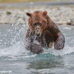 6858 Kodiak Bear, Katmai National Park, Alaska