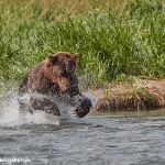 6859 Kodiak Bear, Katmai National Park, Alaska