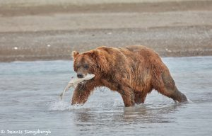 6860 Kodiak Bear, Katmai National Park, Alaska
