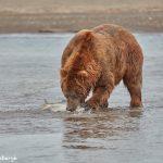 6861 Kodiak Bear, Katmai National Park, Alaska