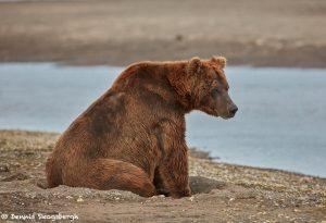 6862 Kodiak Bear, Katmai National Park, Alaska