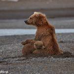 6864 Kodiak Bear with Cub, Katmai National Park, Alaska