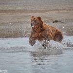 6865 Kodiak Bear, Katmai National Park, Alaska