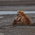 6863 Kodiak Bear with Cub, Katmai National Park, Alaska