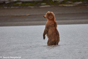 6866 Kodiak Bear, Katmai National Park, Alaska
