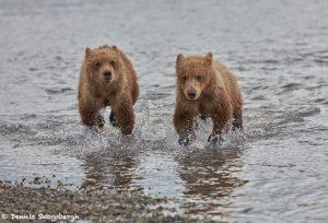 6867 Kodiak Bear Cubs, Katmai National Park, Alaska